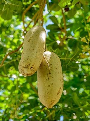 Kigelia Africana fresh fruit