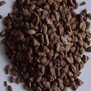 Voacanga africanum seeds