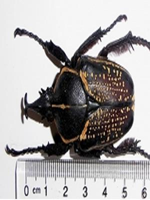 goliathus fornasinius aureosparsus