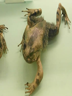 Hairy frog
