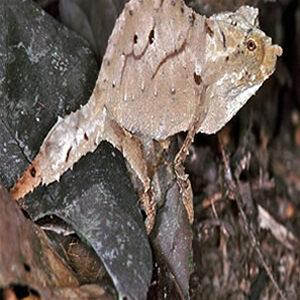 Chamaleon rampholeon spectrum