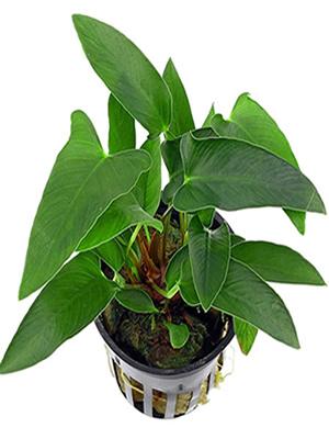 Anubias gracilis